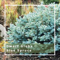 Dwarf Shrubs for Small Spaces Small Garden Shrubs, Shrubs For Landscaping, Small Gardens, Landscaping Ideas, Farmhouse Landscaping, Garden Trees, Garden Bridge, Orange Flowers, Spring Flowers