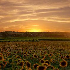 #sunflowers #CharenteMaritime, #France