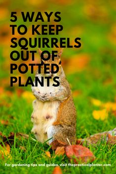 How to Keep Squirrels Out of Potted Plants Techniques to Try at Home) - The Practical Planter Container Plants, Container Gardening, Gardening Tips, Urban Gardening, Outdoor Plants, Potted Plants, Squirrel Repellant, Get Rid Of Squirrels, Walking In The Rain