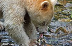 Search for the rare Spirit Bear on this small ship cruise along the northern coast of BC