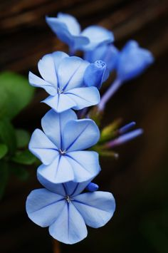 I like Blue plumbago because it is a heavy bloomer, drought tolerant, not a nutr… – beauty flowers Amazing Flowers, My Flower, Beautiful Flowers, Blue Plumbago, Dream Garden, Planting Flowers, Bloom, Plants, Photos