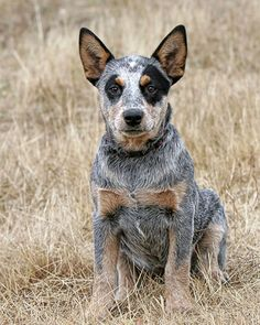 Australian Cattle Dog pup. Blue heeler I want one so bad but idthink my cupcake is interested in a sibling. :(
