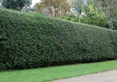 Nellie Stevens Holly Trees  low-maintenance, fast growing evergreen- and it practically thrives on neglect. Just plant it and watch it grow, up to 3 feet per year. You simply trim it to match whatever height you prefer. possible backyard privacy hedge or single bush in front yard