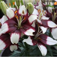Сажаем и выкапываем лилии 130