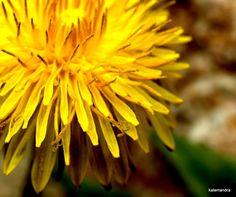 Green Lawn, Little Plants, Yellow Flowers, Dandelion, Seeds, Dandelions