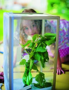 Die Geburt eines Schmetterlings mitzuerleben ist ein Riesenglück. In der freien Natur hat man es leider fast nie. Wie schön also, dass…