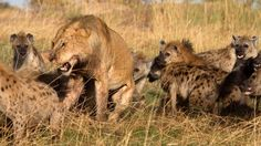 Lions Documentary Hungry Lion Eats and Destroys Hyena - World Wildlife  ... The food chain bigger eats smaller..