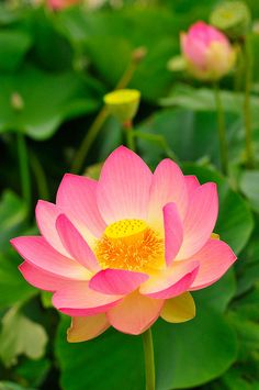 In this is series at great inspire you are going to see collection of beautiful lotus. Lotus is a national flower of India. Most Beautiful Flowers, Exotic Flowers, My Flower, Pretty Flowers, Beautiful Gardens, Beautiful Things, Pink Flowers, Water Flowers, Water Lilies