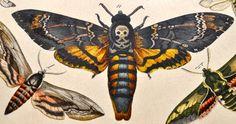 Deathshead hawk moth, 19th-Century German print