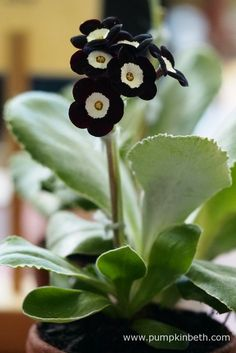 Primula Malacoides plants rare for garden flower Bonsai plants mixed Colors Indoor Plants Flowers bonsai Strange Flowers, Dark Flowers, Exotic Flowers, Beautiful Flowers, Unusual Plants, Rare Plants, Exotic Plants, Primula Auricula, Gothic Garden