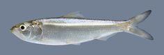 Alosa chrysochloris Skipjack Herring | Flickr - Photo Sharing! Fishing Lures, Fly Fishing, Reptiles, Fish Gallery, Florida Fish, Fish Artwork, Fishing Chair, Sand And Gravel, Diy Wall Painting