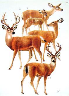 American Deer Roe Deer 1972 Encyclopedia Book Plate