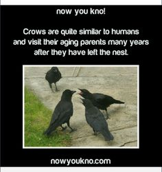 Crows use tools, can be taught to speak (like parrots), and have huge brains for birds. Animals And Pets, Funny Animals, Cute Animals, Funny Birds, Animal Facts, Animal Memes, Crow Facts, Raven Facts, Beautiful Birds