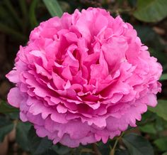 """~Rosa Romantica - Yves Piaget. From Regen Nursery: """"Romantica® Roses"""" are Star Rose Company's English style rose."""