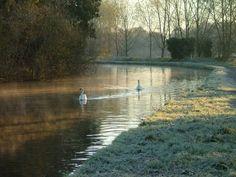 Swans on the Grand Union canal, Hemel Hempstead, Hertfordshire. A picture of: Hemel Hempstead, Hertfordshire