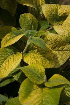 VIBURNUM LANATUM 'AUREUM'  from Secret Garden Growers