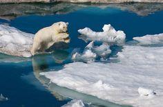I really love a good Polar Bear.