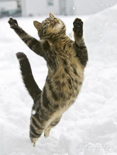 Germany Photographic Print by Konrad Wothe - Domestic Cat (Felis Catus) Male Leaping in Snow,  at AllPosters.com