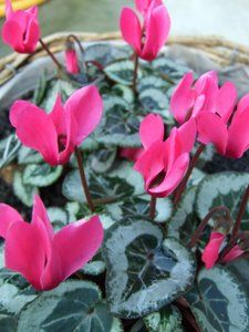 indoor plants pictures, pink cyclamen flowers