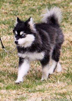 Alaskan Klee Kai... I want one. -_-