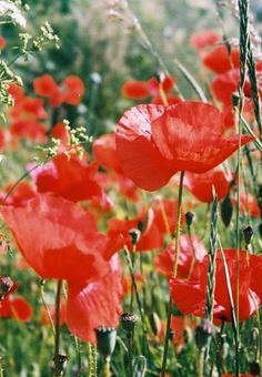 Poppies in a Lay-by Flowers Nature, Wild Flowers, Beautiful Flowers, Red Poppies, Yellow Flowers, Poppy Flowers, Birthday Month Flowers, Flower Market, Water Garden
