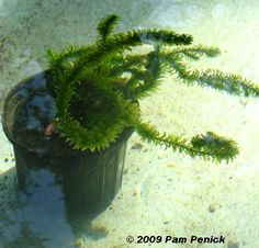 How to make a container pond in a stock tank - Digging Container Pond, Container Water Gardens, Container Gardening, Outdoor Fish Ponds, Ponds Backyard, Backyard Ideas, Pond Plants, Indoor Plants, House Plants