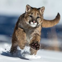 snow Cougar on the move...