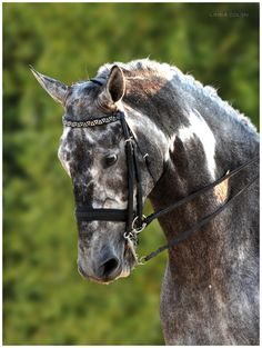 """appaloosa-queen: """"everything about this is perfect """" Appaloosa, Clydesdale, Horse Photos, Horse Pictures, Dutch Warmblood, Mustang, Dressage Horses, Most Beautiful Animals, All The Pretty Horses"""
