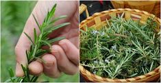 Rosemary is for sure on the top of the list for the most aromatic herbs that you will ever use. It comes from the Mediterranean and has amazing flavor. How to harvest and prepare rosemary This herb Uses For Rosemary, How To Dry Rosemary, Rosemary Ideas, Aromatic Herbs, Healing Herbs, Spices And Herbs, Fresh Herbs, Rosemary Plant Care, Palate Cleanser
