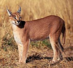 """The caracal is a medium sized cat which it spread in West Asia, South Asia, and Africa. The word Caracal is from Turkey """"Karakulak"""" which means """"Black Ears"""". Here is all about caracal as a pet. Animals Of The World, Animals And Pets, Cute Animals, Caracal Caracal, Neko, Cat Races, Exotic Cats, Small Cat, Big Cats"""