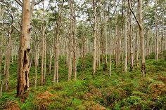 Boranup Karri Forest, Lake Cave & Mammoth Cave Nature Reserve, Boranup, Western Australia