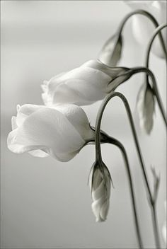 White Lisianthus The Nature Beauty | Backyards Click
