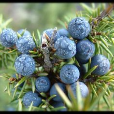 Juniper Berries - the seeds were found at the Soutra aisle site in Scotland . JuniperBerries is a poisonous plant thought to have been used by the monks to induce or speed up labour