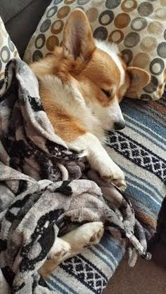 Corgis know how to snuggle up for a warm, comfy nap. Share the Tempur Love. (Source: thedailycorgi.blogspot.com.)