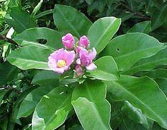 Pereskia grandifolia [grandiflora]