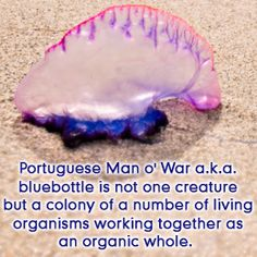 Portugese Man o' War is a colony not a single creature Portuguese Man O' War, Biology Facts, Mad World, Marine Biology, Marine Life, Current Events, Creatures, History, Historia