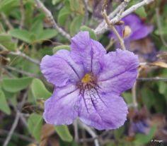 Blue Ruellia, Curandero Trail, Boyce Thompson Arboretum