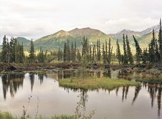 land submerged trees from the big earthquake - Alaska