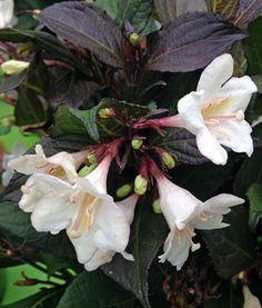 Ebony & Ivory rózsalonc