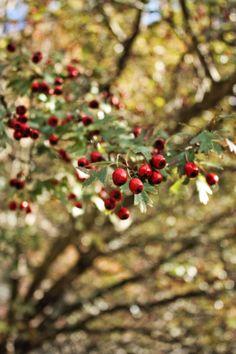 hawthorn tree © Mónica Pinto