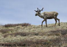 Rentier / Denali National Park
