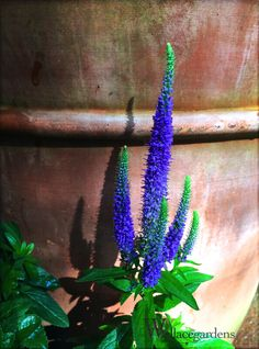 "Veronica spicata ROYAL CANDLES 'Glory' is a deer resistant perennial attractive to butterflies, and is suitable to border or wildflower gardens. The species is prominent throughout the United Kingdom. In 2002, a ""County Flowers"" campaign was..."