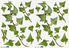 Small Ivy stickers (157009) - Creative Wall Art Stickers - Perfect for the rustic country look small scale pieces of ivy trail, so that you can create your own design on wall. Supplied on two A4 sheets photographic green images - each 21 cm wide, 29.7cm deep.