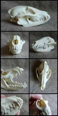 Raccoon Dog Skull by CabinetCuriosities