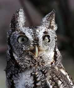 Marble, the eastern screech owl.
