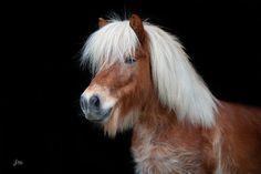 Pony vor schwarzem Hintergrund #pony #pferd #portrait Palomino, Character Ideas, Fur Babies, Dogs And Puppies, Photos, Cute Animals, Horses, Beautiful, Animals