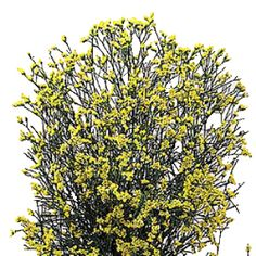 Yellow Limonium Flower | FiftyFlowers.com