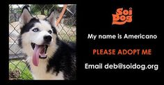 I am a beautiful Husky male named Americano. I am 3 years old.  Please email deb@soidog.org to ADOPT me.  I was dumped on the streets of Phuket. I am not even sure why - quite possibly because I had a skin problem which thanks to Soi Dog Foundation has now gotten much better.  I am a typical Husky and need lots of exercise and attention. I am very energetic, boisterous and strong. I need an owner who really understands my breed. http://www.soidog.org/en/adoptions/adoption-questionnaire/