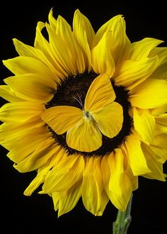 Yellow Butterfly On Sunflower Art Print by Garry Gay Sunflower Pictures, Sunflower Art, Sunflower Quotes, Yellow Sunflower, Sunflowers And Daisies, Yellow Flowers, Sun Flowers, Happy Flowers, Beautiful Flowers