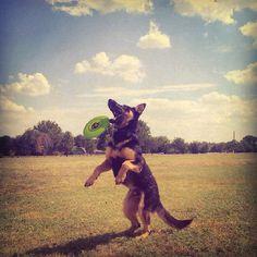 Play time #german #shepherd #dog